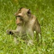 Monkeys inside Angkor Thom