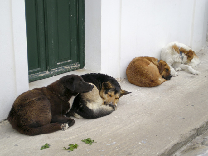 Village dogs in Oia