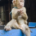 A monkey on the back of a truck in Luang Prabang\'s markets