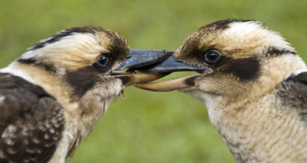 Locked kookaburras in Mebbin National Park