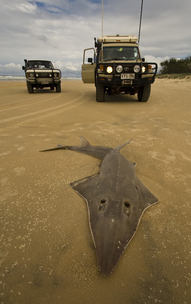 Bessie and The Tank next to a dead Shovelnose Ray