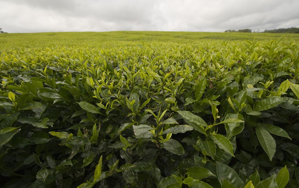 Nerada tea plantations near Malanda