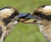 Locked kookaburras in Mebbin National Park