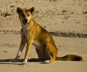A lone Dingo on the beach near Waddy Point