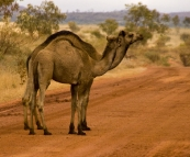 A new type of roadblock: feral camels