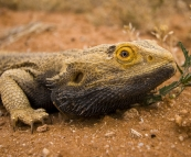 Bearded Dragon alongside the road in the Strzelecki Desert