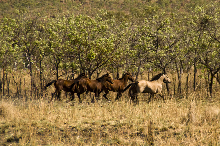 Brumbies alongside the road to Kalumburu