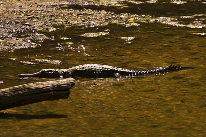 Freshwater Crocodiles in Windjana Gorge