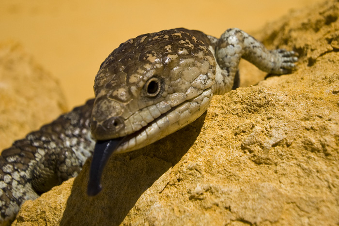 A Shingleback Lizard in The Pinnacles Desert in Nambung National Park
