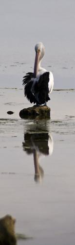 Pelicans in Venus Bay