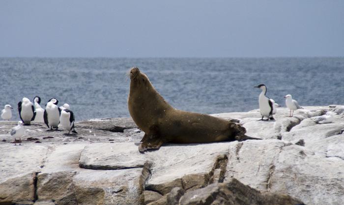 Australian Sea-Lions in Boston Bay