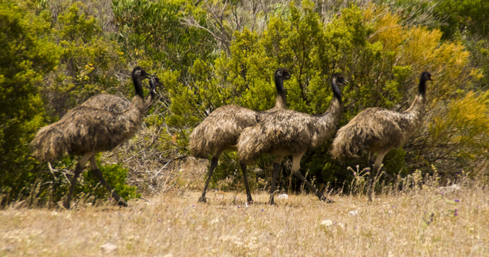 Emus in the clearing near the Memory Cove gate