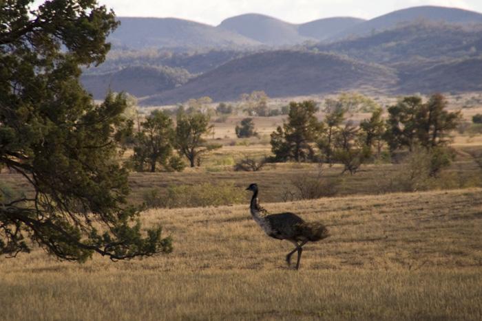 Flinders Ranges emu