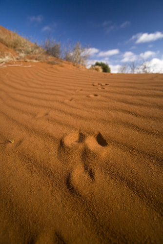 A kangaroo paw print in the Outback dunes along the Oodnadatta Track between William Creek and Oodnadatta