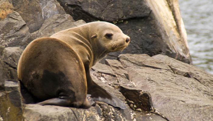 Australian Fur Seals near Tasman Head