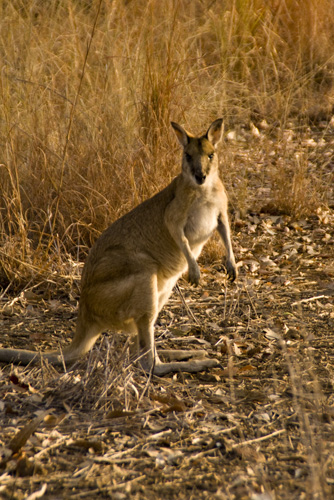 A wallaby at our campsite at Leliyn in Nitmiluk National Park
