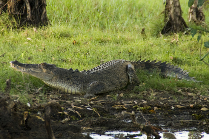 An estuarine (saltwater) crocodile at Yellow Waters