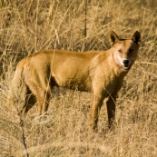 A dingo near the turnoff to Kalumburu