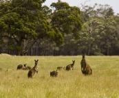 Margaret River kangaroos