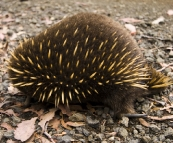 An Echidna crossing the road in Ben Lomond National Park