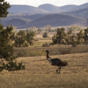 Flinders Ranges emu
