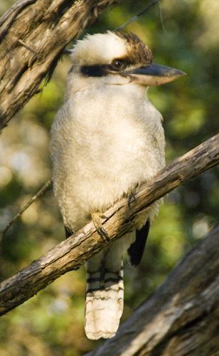 A Kookaburra at our campsite