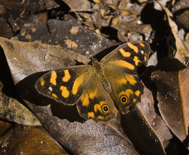 Butterfly in Leura Forest