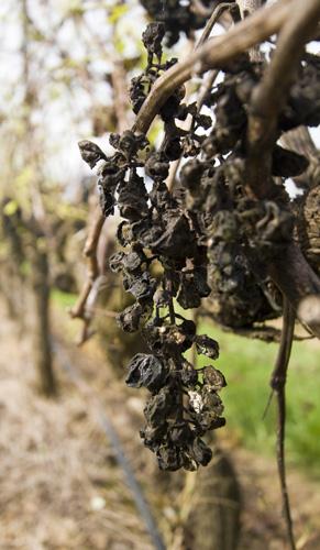 Raisins left on the vines at Adina Winery
