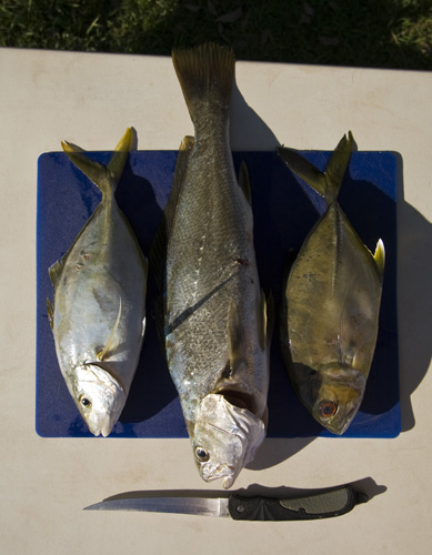 Silver Trevally, Mulloway and a Big Eye Trevally for Lisa\'s dinner in Booti Booti National Park