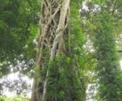 Strangled tree in the rainforest in Dorrigo National Park