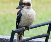 Kookaburra in Mebbin National Park