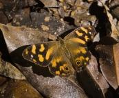 Butterfly in Leura Forest