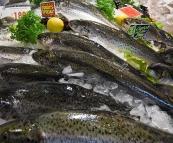 Atlantic Salmon at the Sydney Fish Market