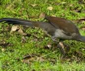 A lyrebird at Gloucester River campsite
