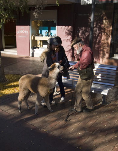 Not something you see every day: a pet llama in Alice Springs