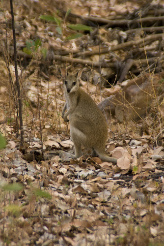 A wallaby near our campsite in Nitmiluk National Park