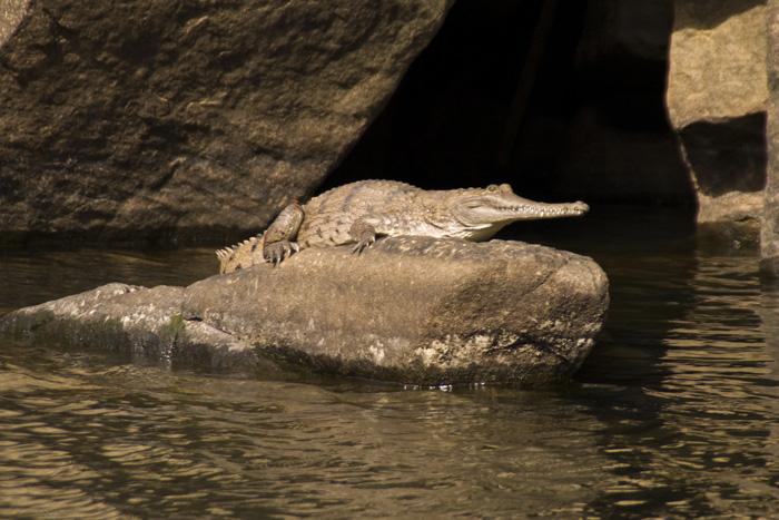 A freshwater crocodile enjoying the sun in Katherine Gorge's second gorge