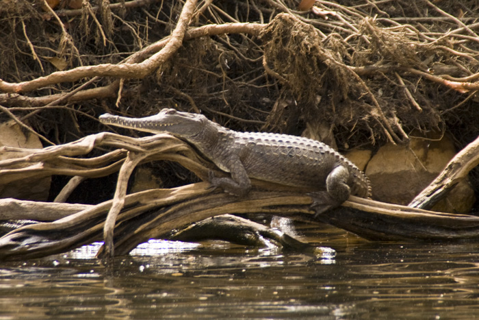 A freshwater crocodile enjoying the sun in Katherine Gorge's first gorge