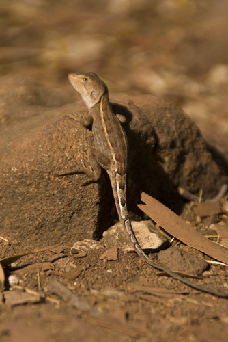 A lizard on the hike to Sweetwater Pool