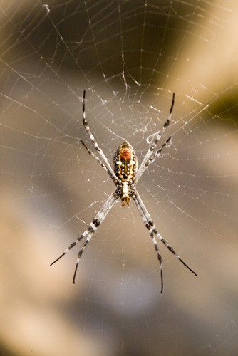 An orb spider at Leliyn\'s upper falls