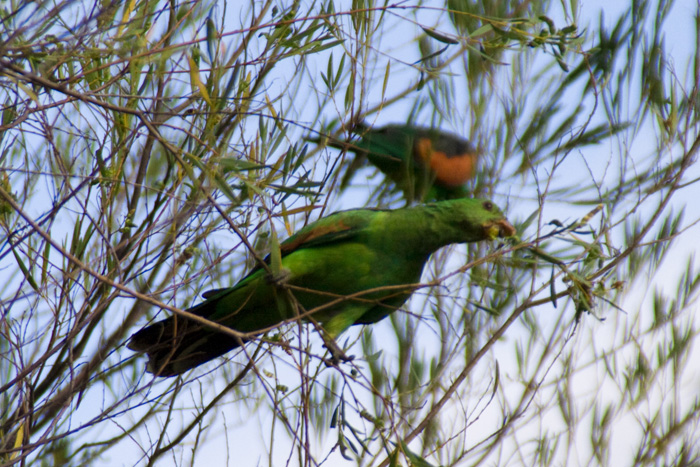 Hooded parrots at our campsite at Leliyn