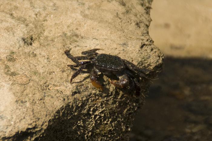 A mud crab on the beach at Mandorah