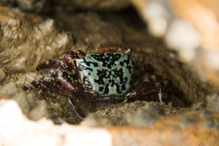 A colorful mud crab in the mud flats at Mandorah