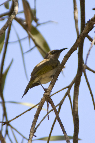 Probably the noisiest bird in Kakadu at our campsite at Muirella Park!