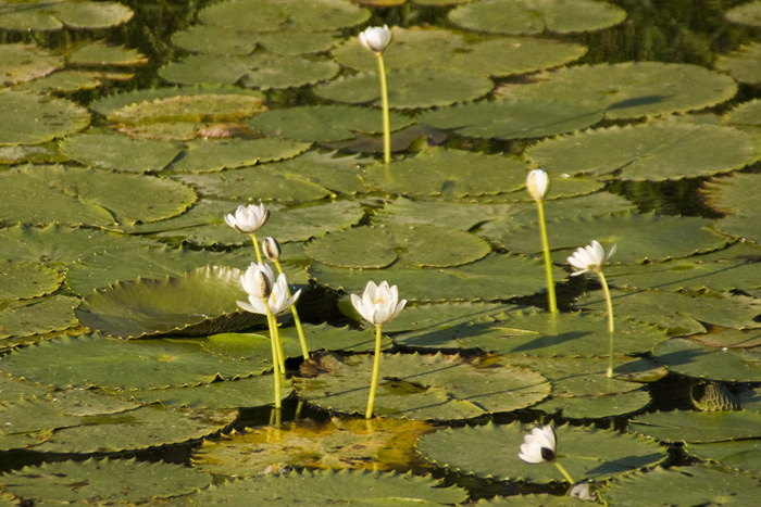 Water lillies at Yellow Waters