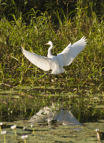 An egret at Yellow Waters