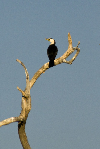 A cormorant at Yellow Waters