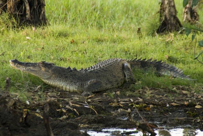 An estuarine (saltwater) crocodile at Yellow Waters