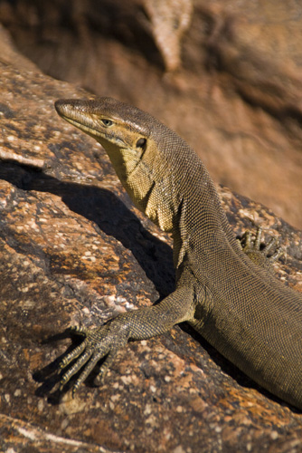 A water monitor we encountered at the top of Gunlom waterfall