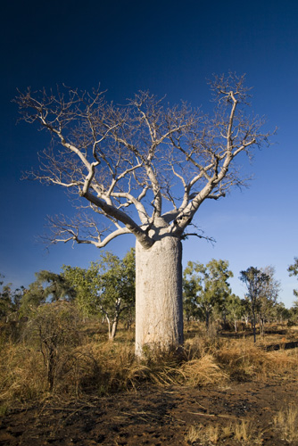 A boab tree along the Bullita Stock Route in Gregory National Park